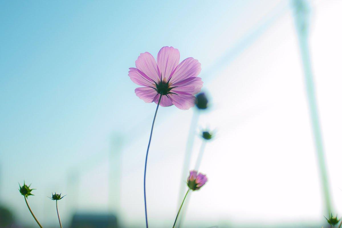 Pinkki kukka