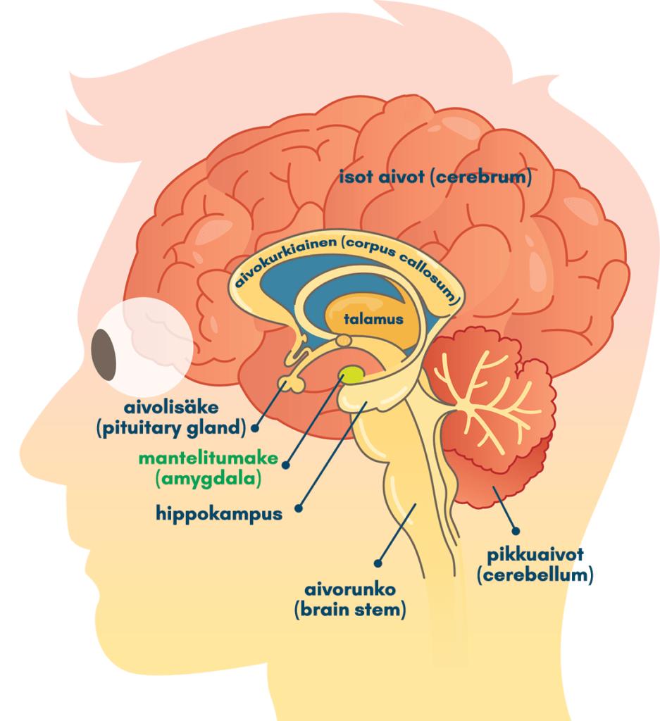 Amygdalan eli mantelitumakkeen sijainti aivoissa