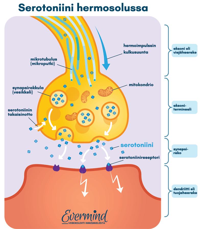 serotoniini hermosoluissa havainnekuva